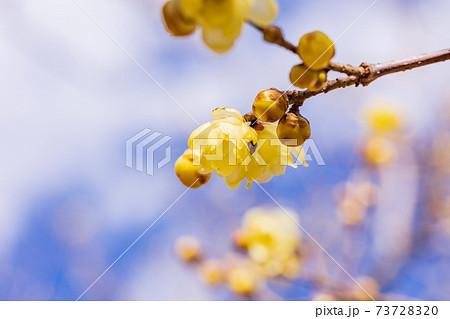 ロウバイの花 マクロ 73728320