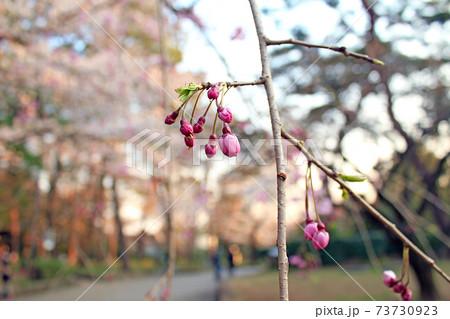 【埼玉】春の大宮公園 園内のソメイヨシノとしだれ桜の蕾 73730923