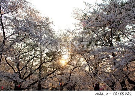【埼玉】春の大宮公園 夕日が差し込む満開の桜 73730926