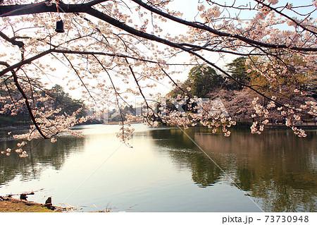 【埼玉】春の大宮公園 夕暮れ時の舟遊池と満開の桜 73730948