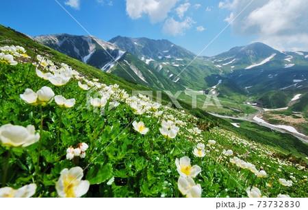 北アルプス 立山に咲き誇るチングルマ 73732830