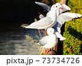 木の柵にとまるか鴎の群れ 73734726
