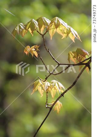枝先のもみじの芽吹きと若葉、緑バックボカシ 73749773