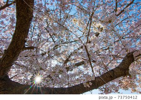 春の花桜 太陽光を透かすソメイヨシノ 73750412