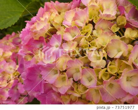ピンク色の紫陽花のクローズアップ(二輪) 73751977