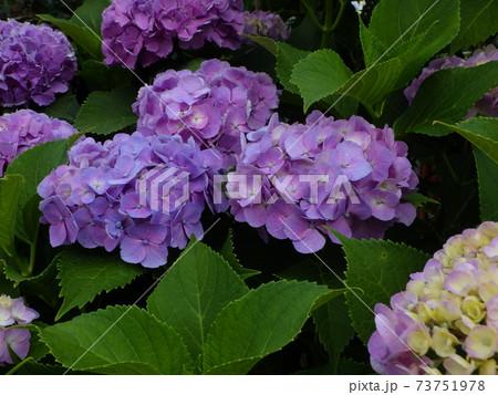 薄紫色の紫陽花のクローズアップ(複数) 73751978