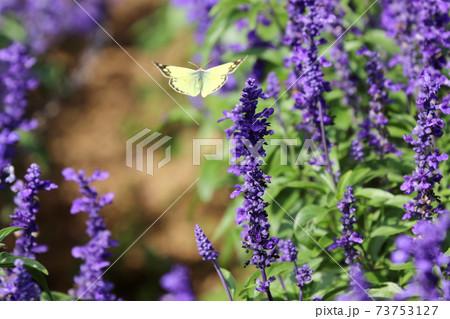 秋のやくらいガーデン花畑の中を飛ぶモンキチョウ 73753127