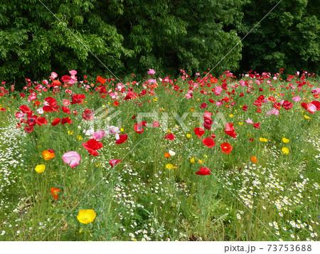 万博記念公園花の丘のカモミールとシャーレーポピー 73753688