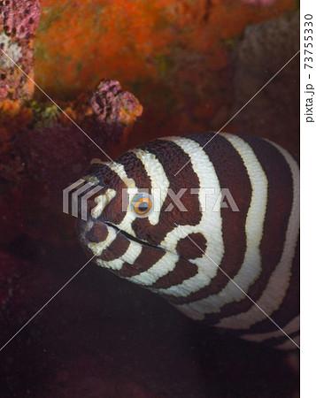ゼブラウツボ (メルギー諸島、ミャンマー) 73755330