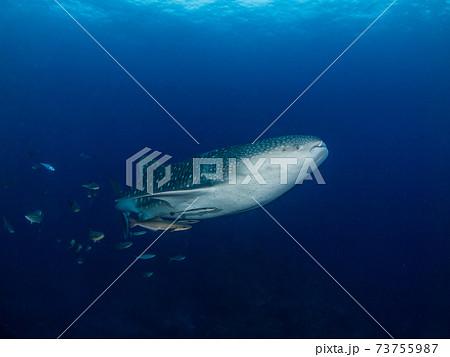 澄んだ青い海を泳ぐジンベエザメの若魚 (ボン島、シミラン海洋国立公園、タイ王国) 73755987