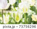 庭に咲く白のチューリップ 73756296
