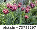 庭に咲く赤いチューリップ 73756297