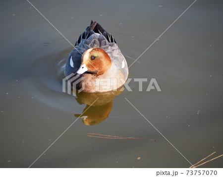 冬の池を泳ぐ生殖羽に換羽したヒドリガモの成長雄 73757070