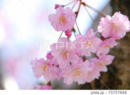 ピンクのしだれ桜のクローズアップ 73757688