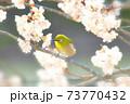 桜とメジロ 73770432