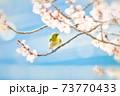 桜とメジロ 73770433