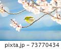 桜とメジロ 73770434
