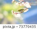 桜とメジロ 73770435