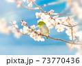 桜とメジロ 73770436