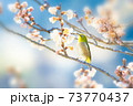 桜とメジロ 73770437