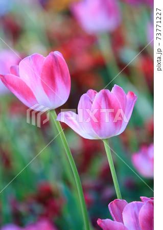 お花畑に咲いている二輪のチューリップ 73771227