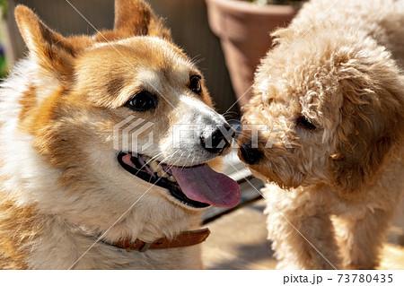 ウェルシュ・コーギーの成犬とトイプードル仔犬 73780435