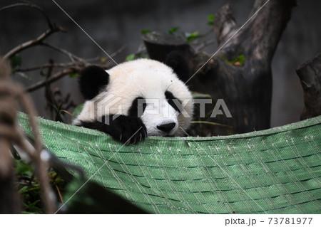 ハンモックに乗ろうとする赤ちゃんパンダ 73781977