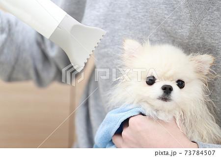 愛犬ポメラニアンのシャンプー後にドライヤーで毛を乾かす男性 73784507