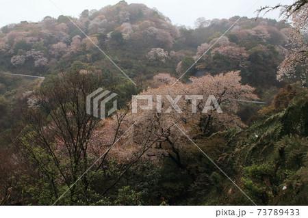 田舎の山の雨にしっとりと煙る山桜の数々 73789433