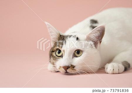 上目遣いの伏せた猫(ジャパニーズボブテイル) 73791836