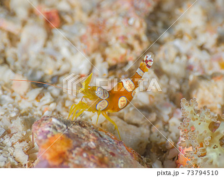 ハナブサイソギンチャクに棲むイソギンチャクモエビ (メルギー諸島、ミャンマー) 73794510