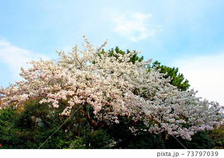 【東京】一般公開中の皇居乾通り 青空と満開の桜 73797039