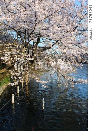 【東京】井の頭恩賜公園 井の頭池に映える満開の桜 73797045