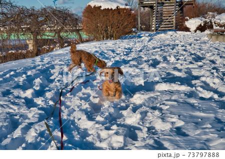 雪の積もる公園で遊ぶトイプードルとミニチュアダックスフント 73797888
