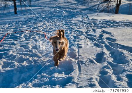 雪の積もる公園を走るミニチュアダックスフント 73797950