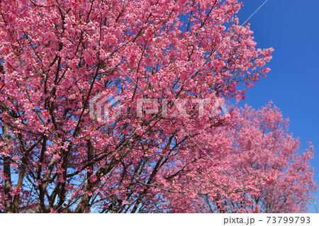 埼玉県比企郡滑川町つきのわ中丸公園 横浜緋桜並木 73799793