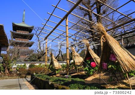 1月 台東180冬ぼたんと五重塔・上野恩賜公園 73800242