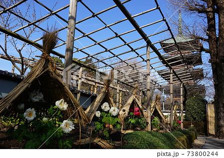 1月 台東179冬ぼたんと五重塔・上野恩賜公園 73800244