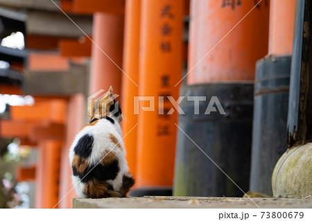 鳥居の並ぶ神社に座っている三毛の子猫 73800679