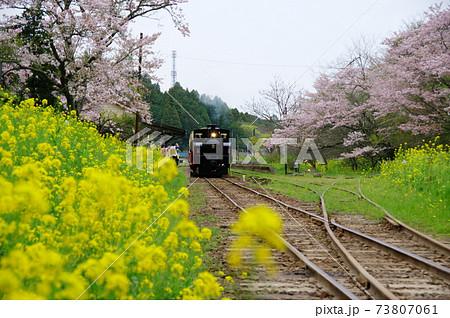 小湊鉄道 月崎駅の満開の菜の花と桜に囲まれる里山トロッコ・DB4形ディーゼル機関車(千葉県市原市) 73807061