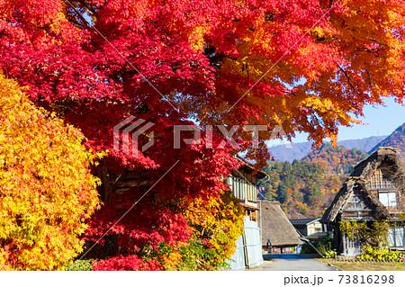 道沿いの真っ赤に染まる楓と奥に茅葺き屋根の古民家 岐阜県白川郷 73816298