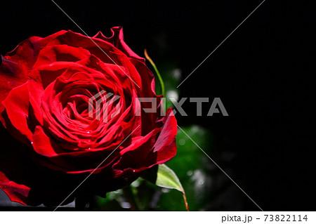 花びらに水の雫がついた深紅の薔薇 73822114