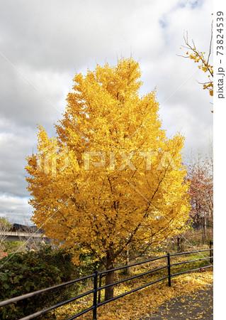 葉がゴールドになった秋のイチョウ樹 73824539