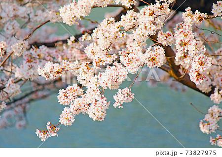 <春イメージ>日差しを浴びる満開の桜と水面 73827975