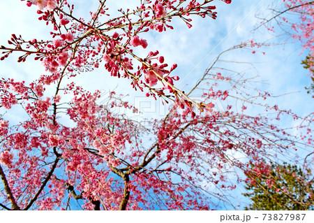 <春イメージ>ダイナミックに咲くしだれ桜(横アングル) 73827987