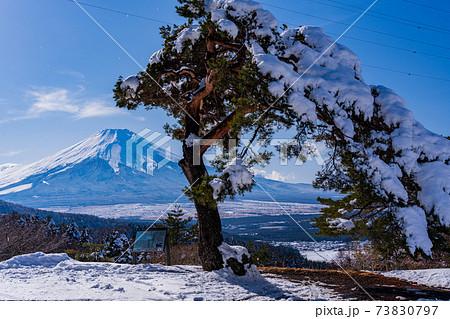 (山梨県)風雪に耐える松と富士山 73830797