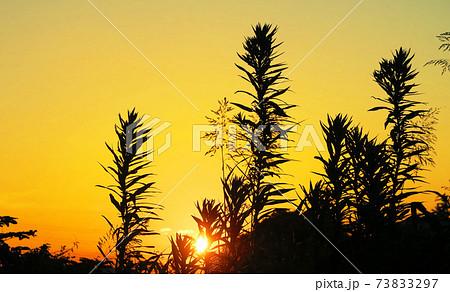 都立舎人公園(東京都足立区)の夕暮れと植物のシルエットの風景 73833297
