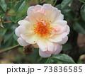 アプリコットピンクの花がたくさん咲くバラ、オーギュスト・ジェルヴェ Auguste Gervais 73836585