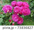ニュージーランドでつくられた香りのいいバラ、オールド ポート  Old Port 73836827