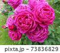 ニュージーランドでつくられた香りのいいバラ、オールド ポート  Old Port 73836829